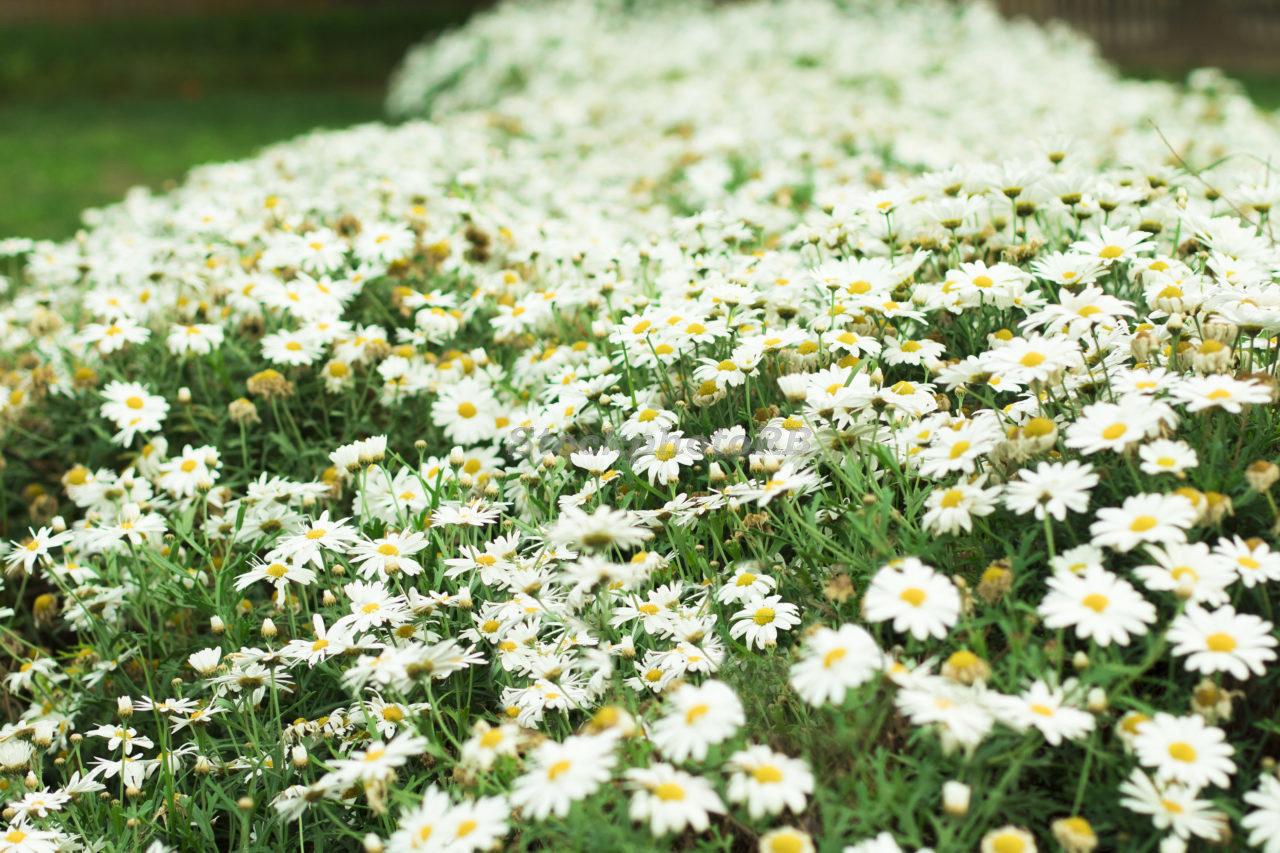 Daisys-2