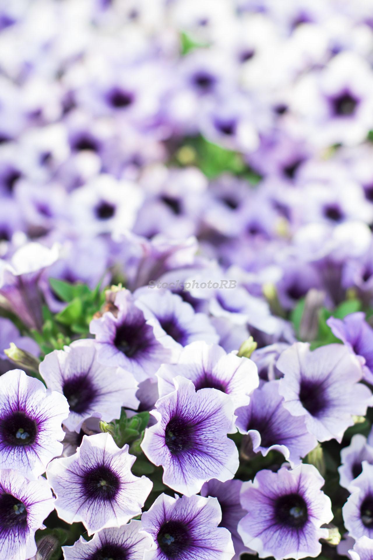 Quiet purple-5