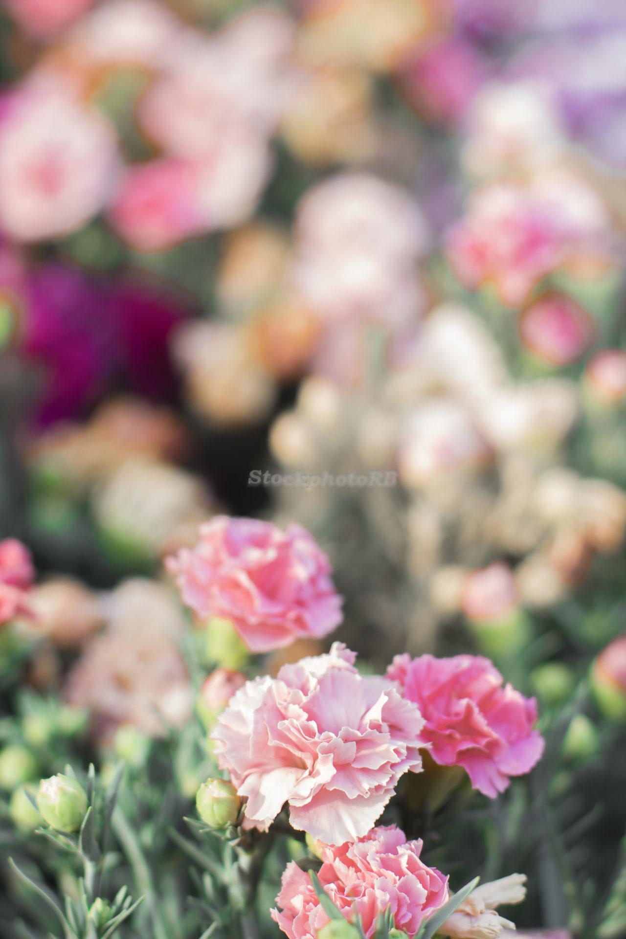 Rose morning-2