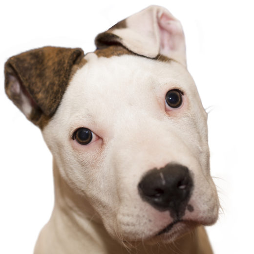 American Staffordshire terrier (2)