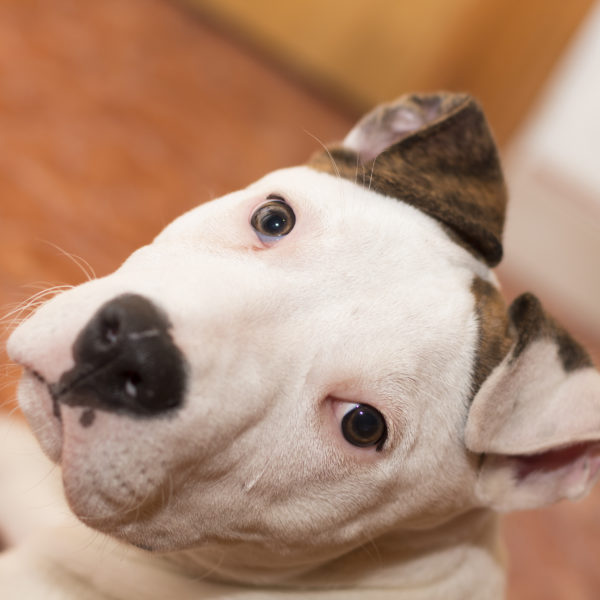 American Staffordshire terrier (3)