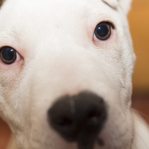 American Staffordshire terrier (4)