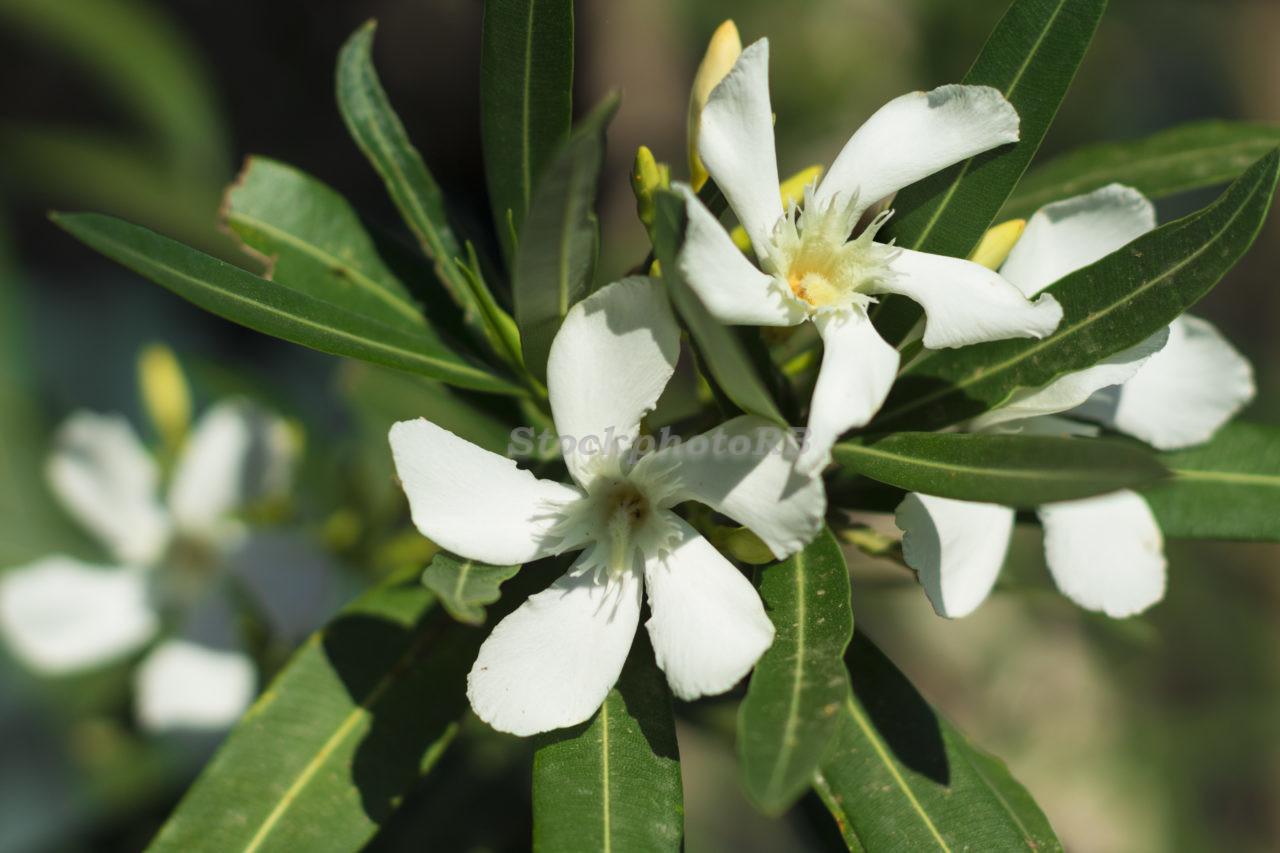Spring white flower
