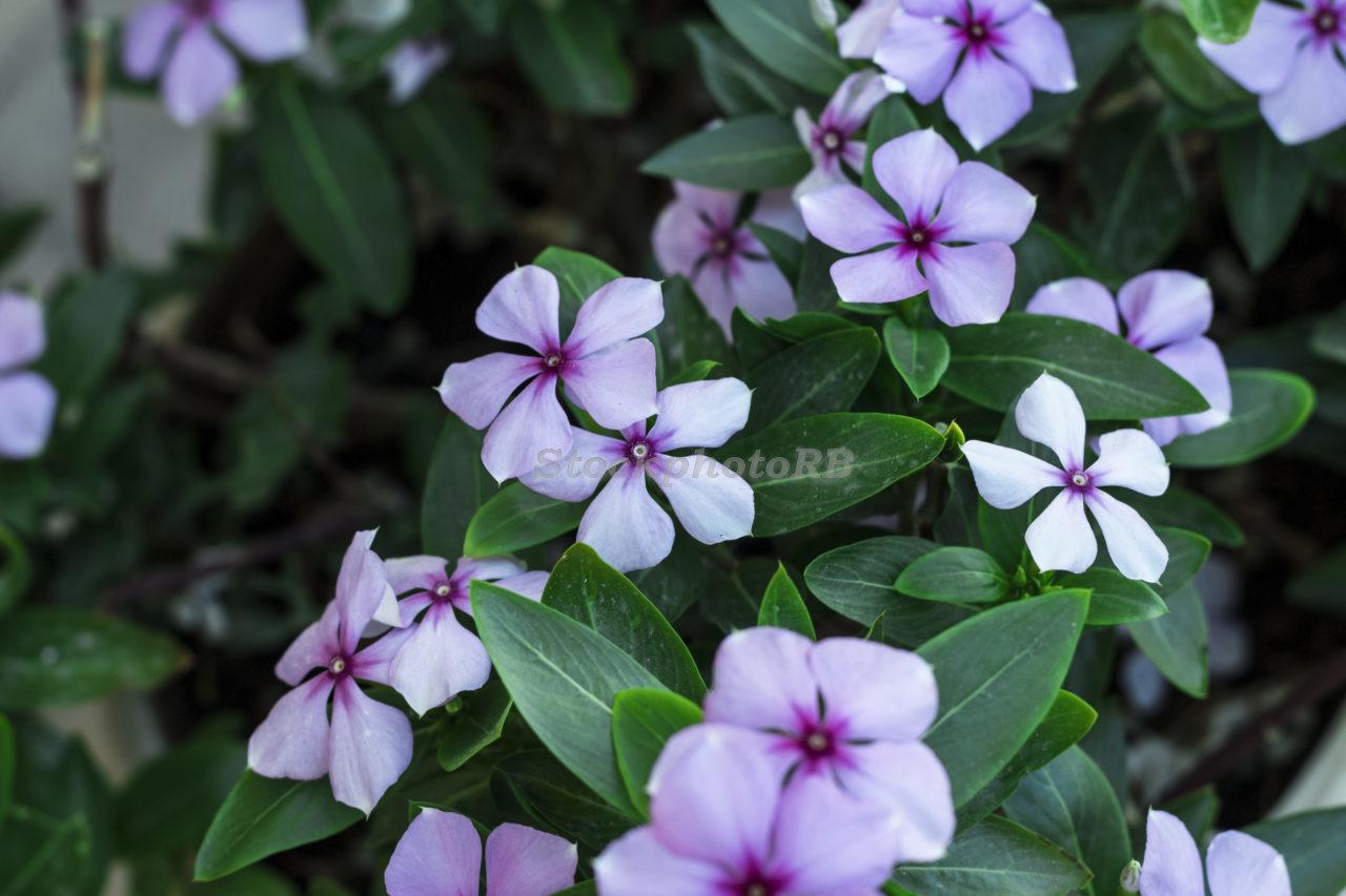 Purple Flower-23