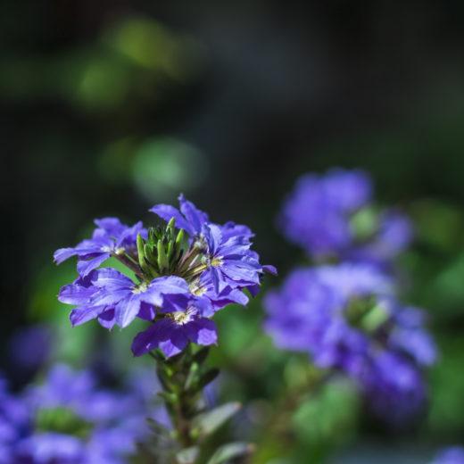Blue flower on green background-2