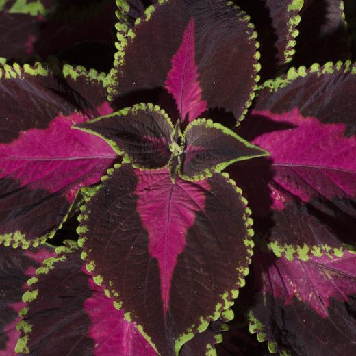 Purple flower on a dark background-2