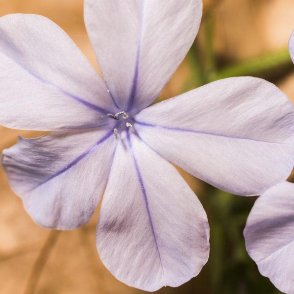 Violet flower-21