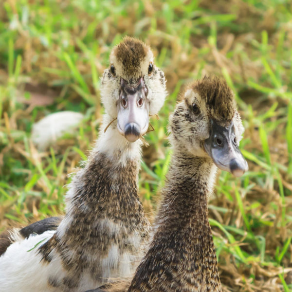 Portrait of small ducklings