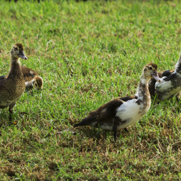 Brown small ducklings on the meadow