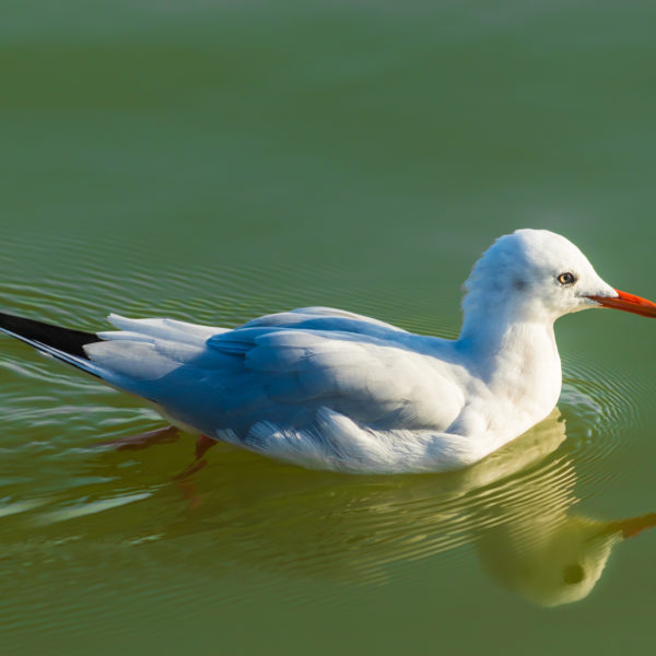 Swimming seagull