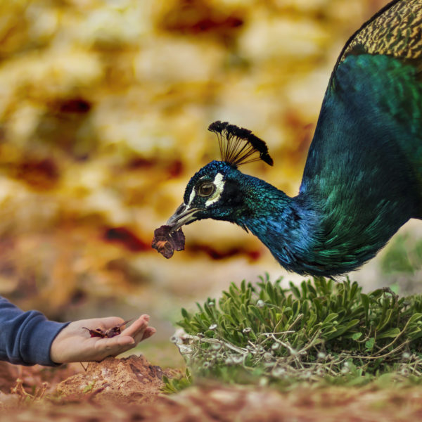 Child feeding peacock