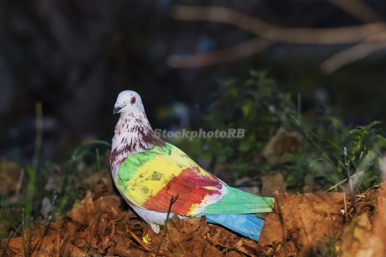 Pigeon sport