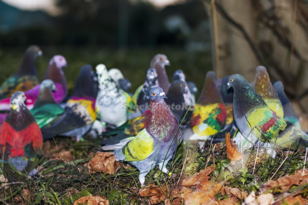 Pigeons sports