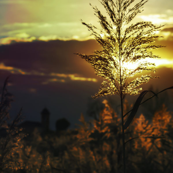Sunset in the grass