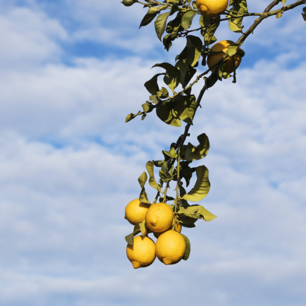 Lemon branch