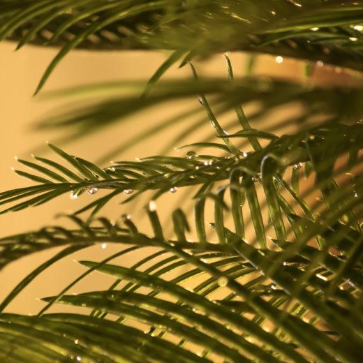 Palm after rain